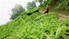 Najít klid mezi čajovými keři. Ze života na nepálské plantáži