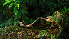 Zeptali jsme se vědců: Jak je možné, že chameleon mění barvu?