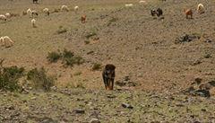Mongolský bouvier, pes pocházející z úsvitu dějin