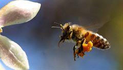 Včely nestíhají. Třešně a meruňky to odnesou