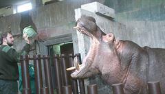 V pražské zoo uhynul hroch Slávek. Proslavil se jako hrdina povodní v roce 2002