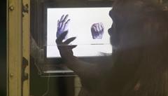 Úsvit planety opic? Japonští vědci naučili šimpanze hrát Kámen, nůžky, papír