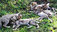 OBRAZEM: Gepardí paterčata narozená v pražské zoo dostala jména. Kmotrem je sprinter Maslák