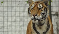 Mexická policie pátrá po tygrovi uprchlém ze soukromé zoo