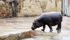 Hroši v pražské zoo se dočkají opravy čističky vody. Bude stát 10 milionů