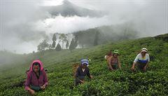 Proč vám už brzy bude chybět šálek slavného čaje dárdžiling?