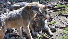 Vlčí hlídky našly v Beskydech stopy 15 rysů a tří vlků. Žije tam i medvěd, zjistily
