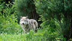 Na českém území se vyskytují vlci několika populací, zjistili vědci