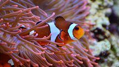 Hledá se Nemo? Můžeme ho spíše ztratit, říkají vědci
