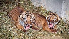 Praha má dvě tygří mláďata. Chov je extrémně náročný, ale bude to 'magnet', doufá ředitel