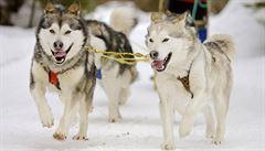 Dopingová zkouška na závodu psích spřežení Iditarodu byla poprvé pozitivní