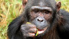 Na ostrově šimpanzů v Pobřeží slonoviny zbyl jen jediný