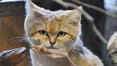 V brněnské zoo přibyli samci kočky pouštní a jaguarundi