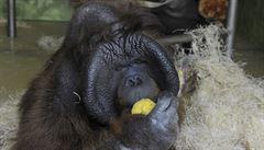Ústecká zoo utratila orangutana Ňuňáka, hrál ve filmu Poledňákové Dva lidi v zoo