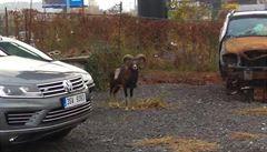 Po ulici v Praze 5 pobíhal muflon, způsobil nehodu. Uspali ho na Andělu