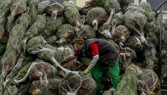 Skoro polovina stromečků v Česku je umělých. Vánoční jedlička roste i 15 roků