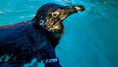 Ústecká zoo otevřela novou expozici tučňáků brýlových. Jako první ZOO v Česku