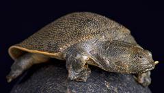 V písčitém břehu Mekongu vědci našli hnízdo ohrožené kožnatky