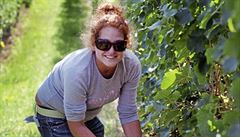 Sklizeň vína byla v minulém roce sice kvalitní, ale kvůli nízké úrodě stoupnou ceny