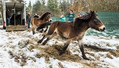 Koně z Milovic už běhají v rezervacích ve východních Čechách