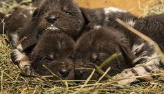V ZOO Dvůr Králové se narodilo 11 mláďat ohroženého psa hyenového