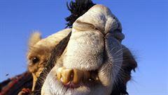 Američtí hasiči zachraňovali uvízlého velblouda