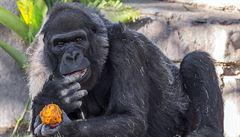 V San Diegu zemřela ve věku 60 let Vila, jedna z nejstarších goril na světě