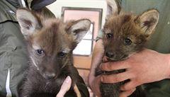 V hodonínské zoo se narodila tři mláďata vlka hřivnatého, přežila jen dvě