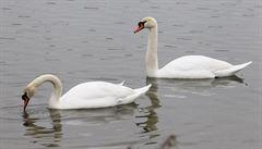 V Česku se po roce znovu objevila ptačí chřipka, potvrdila se u dvou uhynulých labutí na Písecku