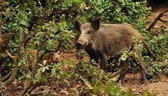 Divoká prasata se v Praze 14 vyskytují už jen vzácně