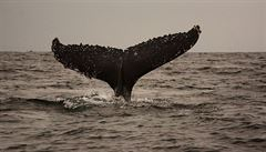 Velryby a žraloci v ohrožení mikroplastů. S potravou konzumují i mořský odpad, říká studie