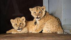 Dvojčata lvíčat narozená v brněnské zoo jsou samec a samička