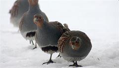 Ptáků v české krajině ubývá. Často za to může intenzifikace zemědělství