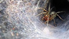 Sexuální kanibalismus: pavouci žerou samice a páří se s mladšími