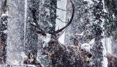 Souhlasím se zastřelením jelena, problém je v ochočování zvířat, říká šéf královédvorské ZOO