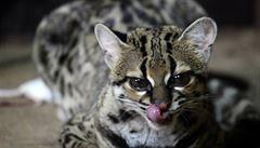 V brněnské zoo se narodilo mládě kočkovité šelmy margaye