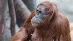 Orangutana v zoo operovali zubaři, kteří obvykle pečují o lidi