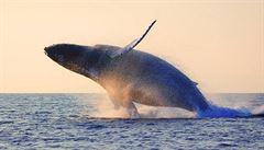 130 tun velrybího masa se vrátilo na Island, prý ho nikdo nechce