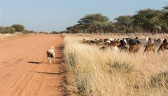 V keňské savaně pomáhají chytat pytláky psi