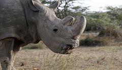 Keňa utratila posledního samce nosorožce severního bílého na světě. Vyrůstal v Česku