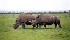 Poslední šance na záchranu nosorožců bílých severních. Uměle vytvořené embryo odnosí samice jiného druhu