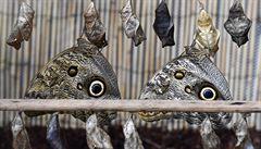 V pražské botanické zahradě začala výstava tropických motýlů