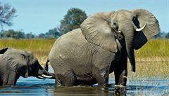Káva z trusu thajských slonů má cenu zlata. K dostání bude nově i v Evropě