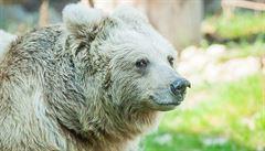 Medvěd na Valašsku napadl další zvířata. Pokud se sám nestáhne do hor, čeká ho zřejmě odchyt