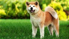 Japonský pes akita si dobyl srdce cizinců i celebrit