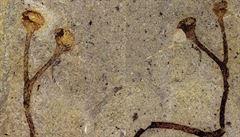 V Národním muzeu objevili nejstarší rostlinnou fosilii na světě. Rostla téměř před půl miliardou let