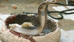 Kobra královská narušila jednání parlamentu v Indii