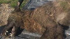 Vlkodlak nebo pravlk? Farmář v Montaně zastřelil podivuhodné zvíře, jeho původ je nejasný