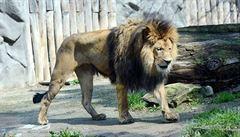 V plzeňské zoo se narodilo další mládě berberského lva