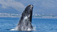 Japonci během poslední expedice zabili 122 březích velryb